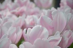 Primo piano rosa fresco dei tulipani Fotografie Stock Libere da Diritti