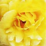 Primo piano Rose Fine Art gialla Fotografie Stock