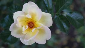 Primo piano Rose In Natural Light gialla bianca stock footage