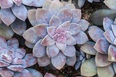Primo piano a Rose Shaped Beautiful Graptopetalum Superbum Kimnach Acev - Pianta succulente ed arida di Rosas, Fotografia Stock