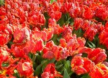 Primo piano rosso dei tulipani Fotografia Stock Libera da Diritti