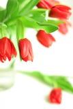 Primo piano rosso dei tulipani. Isolato Fotografia Stock Libera da Diritti