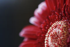 Primo piano rosso del fiore Fotografie Stock Libere da Diritti