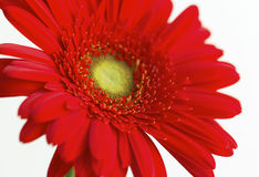 Primo piano rosso del fiore del gerbera Fotografie Stock