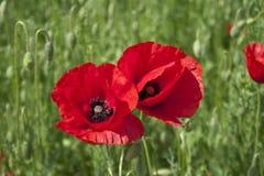 Primo piano rosso del fiore del papavero Fotografie Stock