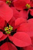 Primo piano rosso del fiore del poinsettia Fotografie Stock Libere da Diritti