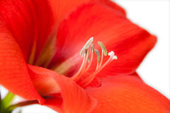 Primo piano rosso del fiore isolato su fondo bianco Fotografia Stock