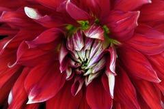 Primo piano rosso del fiore Macro dalia Immagine Stock
