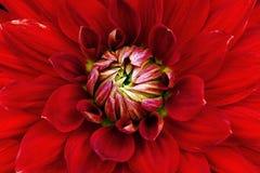 Primo piano rosso del fiore Macro dalia Fotografie Stock Libere da Diritti
