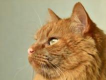 Primo piano rosso del gatto immagini stock libere da diritti