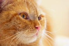 Primo piano rosso del gatto Fotografie Stock Libere da Diritti