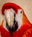Primo piano rosso del Macaw fotografia stock libera da diritti