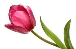 Primo piano rosso del tulipano del fiore Fotografia Stock
