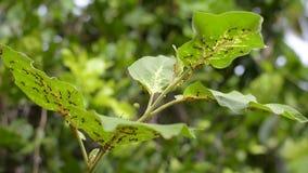 Primo piano rosso della formica sulla melanzana della foglia, Tailandia stock footage