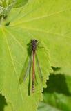 Primo piano rosso della libellula Immagini Stock Libere da Diritti