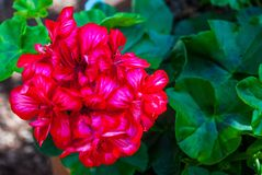 Primo piano rosso di color salmone dei fiori del pelargonium o pelargonium zonale fotografie stock