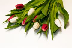 Primo piano rosso e fiori freschi bianchi del tulipano isolati su fondo bianco Lavoro del fiorista per la preparazione delle fest fotografia stock libera da diritti