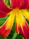 Primo piano rosso e giallo del fiore del giglio Immagine Stock