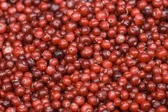 Primo piano rosso maturo fresco dei mirtilli rossi Fotografia Stock