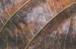 Primo piano rosso verde della foglia Foto di macro di struttura della foglia di autunno Modello giallo della vena della foglia Fotografia Stock