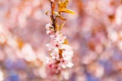 Primo piano sbocciante del singolo ramo del ciliegio Nuovo concetto di vita Fiori immagine stock