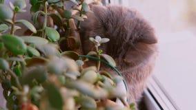 Primo piano scozzese dagli occhi castani del gatto del popolare Il gatto è grigio scuro con peli lunghi archivi video