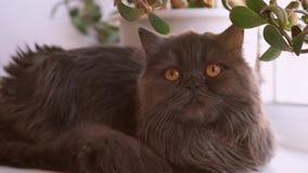 Primo piano scozzese dagli occhi castani del gatto del popolare Il gatto ? grigio scuro con peli lunghi stock footage