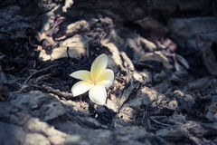Primo piano selvaggio del fiore di Champak sulla foresta a terra in pieno del le morto Fotografie Stock Libere da Diritti