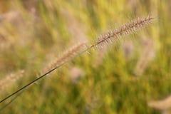 Primo piano selvaggio dell'erba del grano del prato Fotografia Stock