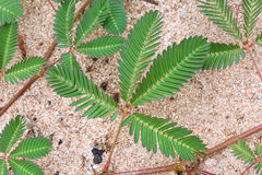 Primo piano selvaggio della pianta sensibile Immagine Stock Libera da Diritti