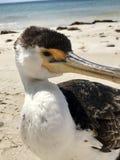 Primo piano selvaggio di Cormorant dell'australiano che si siede sulla spiaggia Immagini Stock