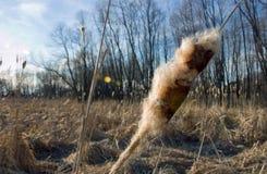 Primo piano seminato della pianta del Cattail in un campo immagine stock libera da diritti