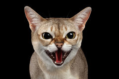 Primo piano Singapura aggressivo Cat Hisses sulla porpora fotografie stock