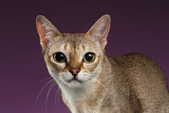 Primo piano Singapura Cat Looking in camera sulla porpora Immagini Stock