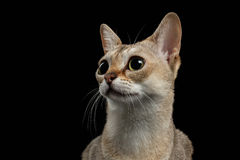 Primo piano Singapura Cat Looking Interesting sul nero Fotografia Stock