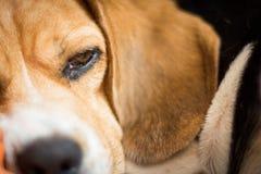 Primo piano sonnolento del cane Fotografia Stock Libera da Diritti