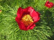 Primo piano sottile-leaved del fiore rosso luminoso della peonia fotografia stock libera da diritti