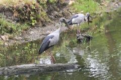 Primo piano sparato di una caccia agli'uccelli con le gambe lunghe selvaggia dell'ibis Immagini Stock Libere da Diritti