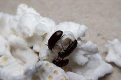 Primo piano sparato di uno scarabeo stercorario della foresta nera Fotografia Stock