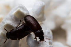 Primo piano sparato di uno scarabeo stercorario della foresta nera Fotografie Stock Libere da Diritti