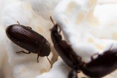 Primo piano sparato di uno scarabeo stercorario della foresta nera Immagini Stock
