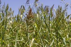 Primo piano sparato per la pianta della bacca di grano fotografie stock