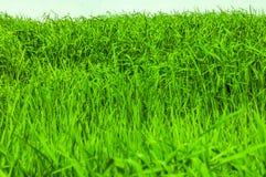 Primo piano sparato su erba verde Immagini Stock