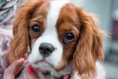 Primo piano sprezzante del ritratto del cucciolo di re Charles Spaniel Immagine Stock Libera da Diritti