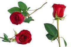 Primo piano stabilito del fiore della rosa rossa isolato sul percorso di ritaglio bianco incluso Immagine Stock