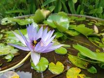 Primo piano su un bombo che si alimenta un fiore viola della ninfea Fotografia Stock