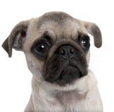 Primo piano su un cucciolo del pug (5 mesi) Fotografia Stock