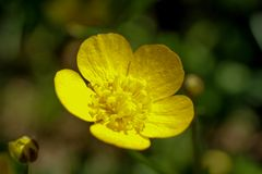 Primo piano su un fiore giallo del ranuncolo immagine stock