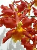 Primo piano su un mazzo delle orchidee rosse Immagine Stock