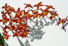 Primo piano su un mazzo delle orchidee rosse Fotografie Stock Libere da Diritti